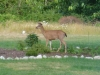 Deer in my garden