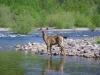 Deer at river
