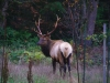 Elk in back yard